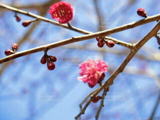空,花,春,木,屋外,ピンク,赤,梅,果物