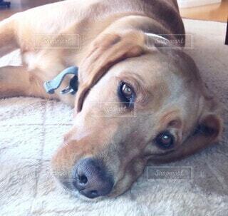 まったりと横たわる茶色の大型犬の写真・画像素材[4178031]