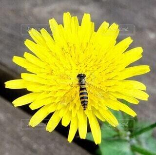 タンポポと蜂の写真・画像素材[4306916]