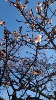 空,花,春,桜,屋外,樹木,座る,蕾,寒桜,草木,開花,腰掛け,ブロッサム,支店