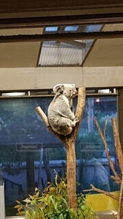 動物,木の上,動物園,コアラ,哺乳類