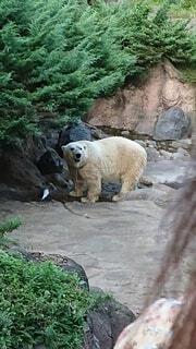 動物,屋外,動物園,哺乳類,白くま,北極熊