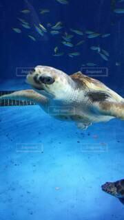 水の下で泳ぐ亀の写真・画像素材[4167269]