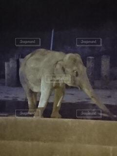 動物,ゾウ,象,動物園,哺乳類,夜の動物園