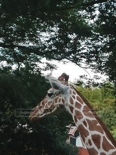 動物,屋外,葉,草,樹木,キリン,動物園