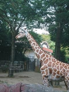 動物,屋外,樹木,キリン,動物園,哺乳類