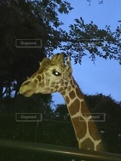 動物,屋外,草,樹木,キリン,動物園
