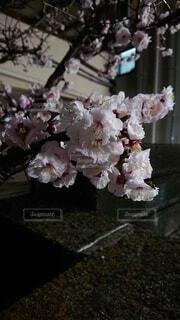 花,桜,屋内,ピンク,夜桜