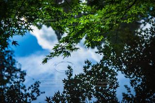 自然,空,屋外,湖,雲,青空,葉,樹木,楓,波紋,雨上がり,草木,カエデ