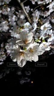 花,春,桜,景観,草木,ブルーム,ブロッサム,フローラ