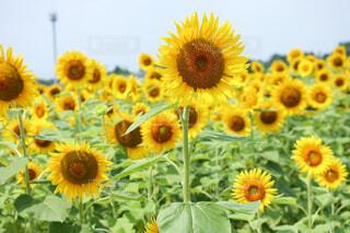 咲き誇るひまわりの写真・画像素材[4297286]
