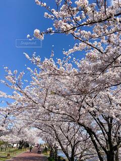 満開の桜並木の写真・画像素材[4299135]