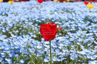 チューリップ畑に咲くチューリップの写真・画像素材[4325791]