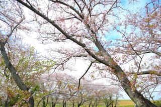 力強く空に伸びる桜の木の写真・画像素材[4326765]