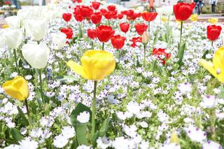 花壇に咲き誇るチューリップの写真・画像素材[4335035]