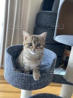 猫,動物,屋内,子猫,スコティッシュホールド,スコティッシュ