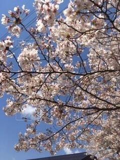 空,花,屋外,青い空,樹木,草木,桜の花,さくら,ブルーム,ブロッサム