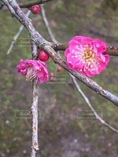 花,屋外,ピンク,赤,樹木,草木,ブルーム,ブロッサム,フローラ