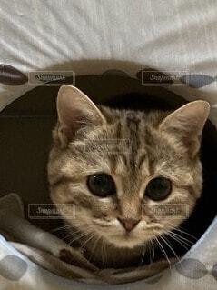 猫,屋内,子猫,座る,目,見つめる,スコティッシュホールド,スコティッシュ