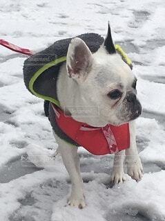犬,動物,フレンチブルドッグ,雪,屋外