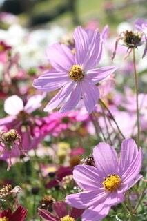 花,ピンク,コスモス,花びら,明るい,景観,草木