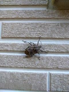 動物,昆虫,カメムシ