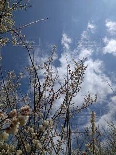 自然,空,屋外,梅,樹木,梅の花,草木