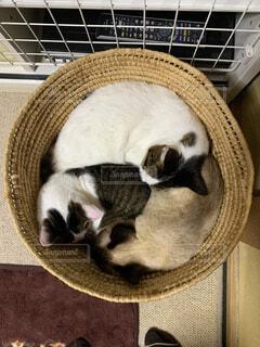 籠の中で団子になって窮屈そうに眠る猫の写真・画像素材[4228223]