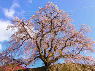 迫力満点の又兵衛桜の写真・画像素材[4250096]