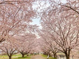 桜並木の写真・画像素材[4250095]