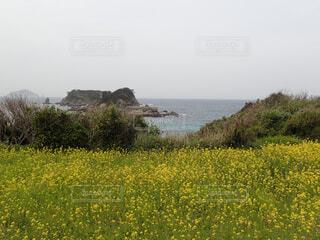 菜の花と海の写真・画像素材[4307858]