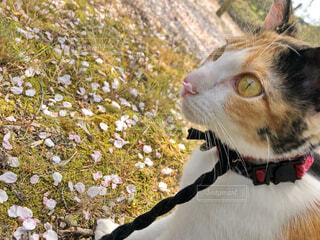猫と花見の写真・画像素材[4307901]