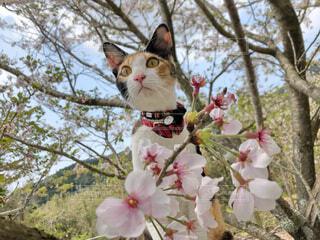 猫と桜の写真・画像素材[4307902]