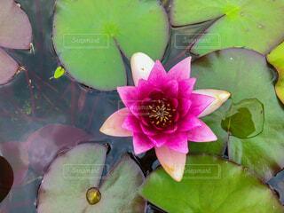 ピンクの蓮の花の写真・画像素材[4322657]