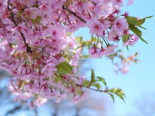 草木,桜の花,さくら,ブルーム,ブロッサム