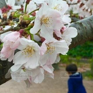 花,春,桜,ピンク,満開,お花見,男の子,草木,ブルーム,ブロッサム,花冷え,フローラ