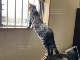 猫,動物,屋内,かわいい,窓,ねこ,子猫,外,壁,立つ,見つめる,ネコ科,ネコ,探す