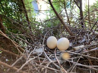 動物,屋外,樹木,卵,鳩,ハト,たまご,景観,巣,干し草