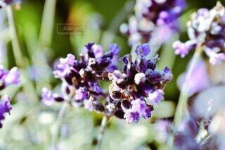 花,景色,ラベンダー,草木