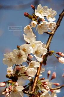 花,春,桜,草木,桜の花,ブルーム,ブロッサム