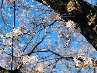 空と桜の写真・画像素材[4173329]