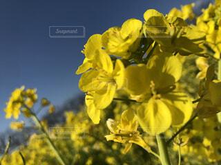 花,黄色,菜の花,草木,ブルーム,フローラ
