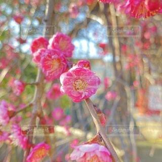 自然,花,春,ピンク,梅