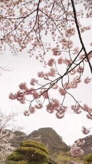 満開の桜の写真・画像素材[4290475]