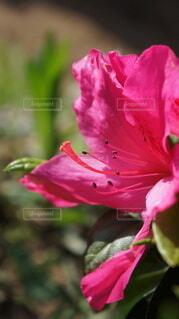 ツツジの花の写真・画像素材[4322539]