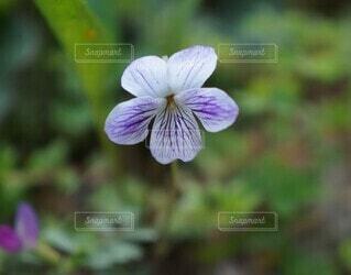スミレの花の写真・画像素材[4322544]