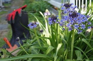 ガーデニングで咲いた花の写真・画像素材[4352490]