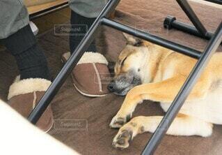 テーブルの下で寝る犬の写真・画像素材[4414508]