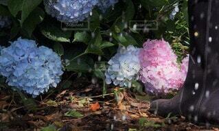 足元の紫陽花の写真・画像素材[4567809]