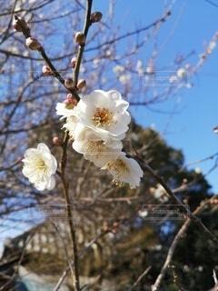 空,春,屋外,梅,青い空,樹木,草木,ブルーム,ブロッサム